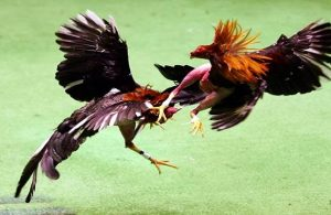 Cara Menang Judi Sabung Ayam Online Terpercaya